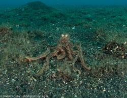 BD-090926-Lembeh-9264181-Amphioctopus-aegina-(Gray.-1849)-[Sandbird-octopus].jpg